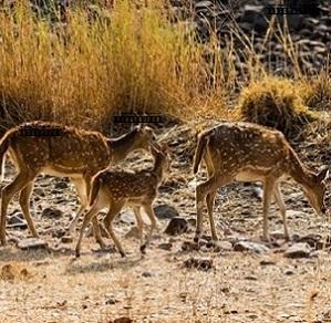 Safari-en-Inde-5