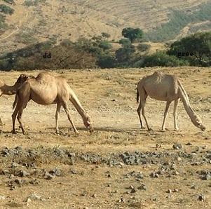camel-Oman